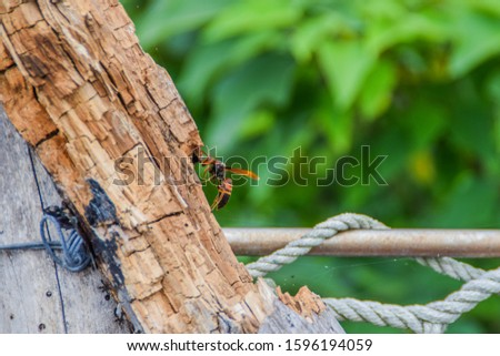a Killer Hornet on a log, picture taken in Taitung, Taiwan