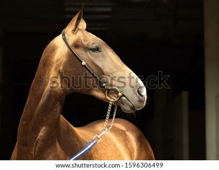 Gold Akhal-Teke horse portrait.  Stallion with traditional tack, seen against a dark background  #1596306499