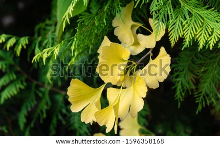 Yellow and gold leaves of Ginkgo tree (Ginkgo biloba), known as ginkgo or gingko against background of blurry foliage. Golden foliage elegant nature concept for design #1596358168