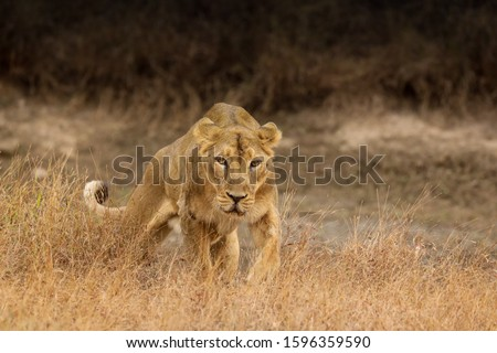 Asiatic Lioness walking forward in hunting pouse  #1596359590