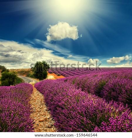 Beautiful image of lavender field  #159646544