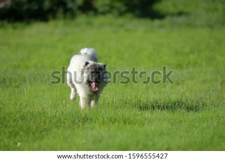 keeshond wolfspitz puppy running on green grass #1596555427