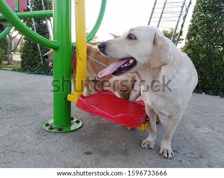 Golden Labrador and Breed dogs are breeding in a public park with exercise areas. #1596733666