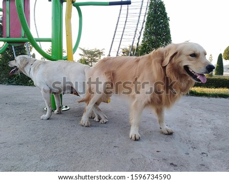 Golden Labrador and Breed dogs are breeding in a public park with exercise areas. #1596734590