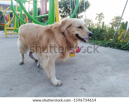 Golden Labrador and Breed dogs are breeding in a public park with exercise areas. #1596734614