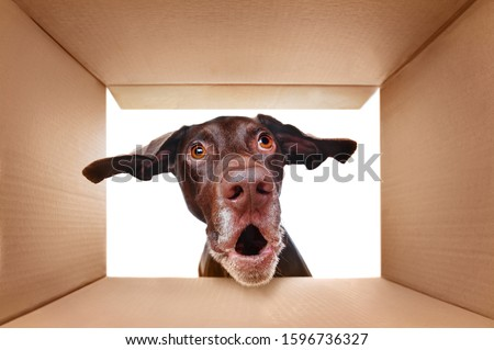 Pointer dog looking into the box with surprise #1596736327