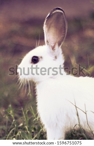 Rabbitsare small, furry, mammals with long ears, short fluffy tails, and strong, large hind legs. They have 2 pairs of sharp incisors (front teeth), one pair on top and one pair on the bottom. #1596751075
