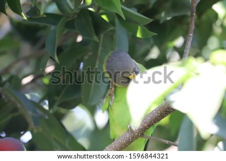 Plum Headed Parakeet Is Sitting OnBranch #1596844321