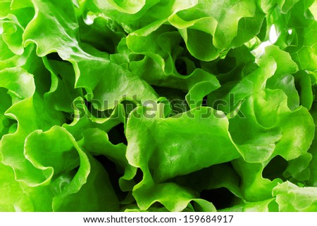 Fresh Lettuce green salad, fragment, isolated on white background.  Abstract background. #159684917