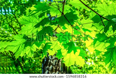 Green maple leaves backlight view. Maple leafs backlight. Green maple leaves backlit view. Green maple leaves #1596858316
