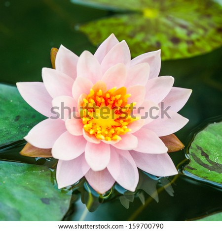 A beautiful pink waterlily or lotus flower in pond #159700790