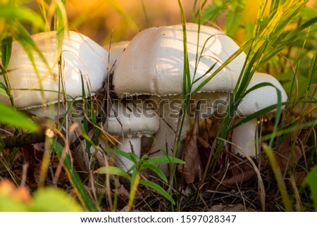 Autumn forest or meadow mushrooms in the grass. Close-up of poisonous mushrooms in the garden. Picking mushrooms. Toadstool mushroom growing in the Park.