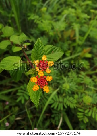 Lantana camara is a species of flowering plant within the verbena family, native to the American tropics. Other common names of L. camara include big-sage, wild-sage, red-sage, white-sage, tickberry #1597279174
