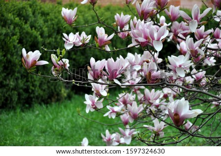 Magnolia flower bloom on background of blurry Magnolia flowers on Magnolia tree. Blossoming pink magnolia flowers close up