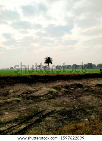 Date Palm Tree in wheat Field with sky background and has barren land in front clicked in morning #1597622899