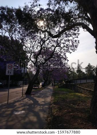 Jacaranda trees on the blue sky background in Sydney, Australia #1597677880