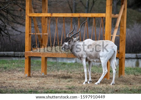 Portrait of Addax (Addax nasomaculatus) also known as the white antelope and the screw horn antelope, is an antelope of the genus Addax, that lives in the Sahara desert #1597910449