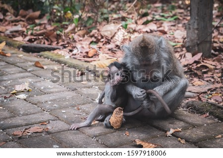Mother monkey with baby monkey in Monkey forest Ubud, Indonesia #1597918006