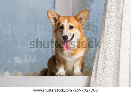 welsh corgi dog looking at the windowsill #1597927708