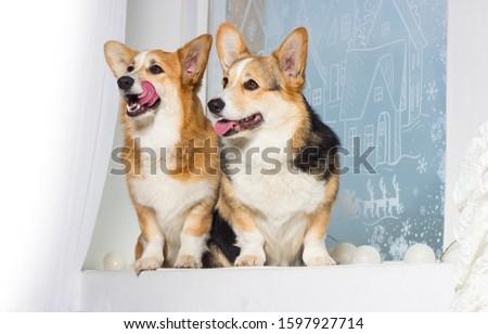 welsh corgi dog looking at the windowsill #1597927714