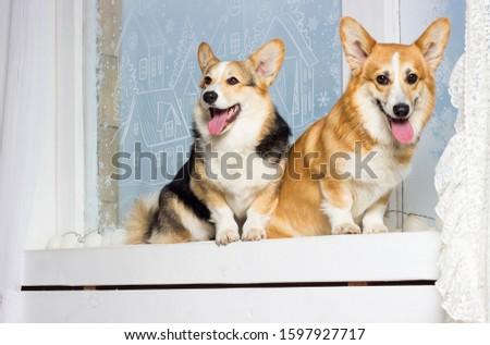 welsh corgi dog looking at the windowsill #1597927717