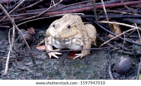 A close-up of a brown frog on mud. Clearly see round black beautiful eyes #1597947010