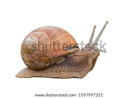 Helix pomatia.Garden snail isolated on white background. Grape snail. Garden snail isolated on white.  Royalty-Free Stock Photo #1597997251