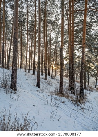 pine forest on a cool winter evening #1598008177