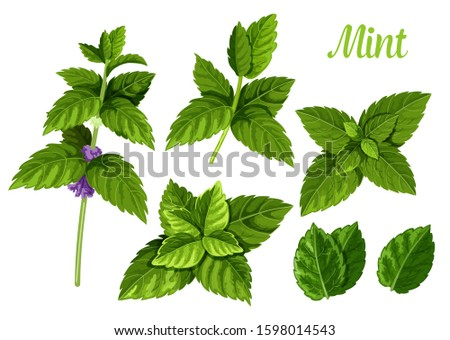 Set of isolated mint leaves or peppermint leaf, green spearmint foliage or menthol herb, plant sprig or flora twig. Lemon balm or lime, melissa. Medicine and aroma, herbal and nature, spice theme #1598014543