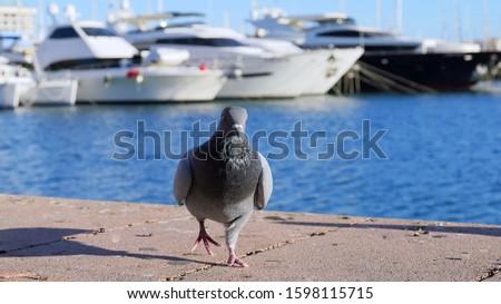 Beautiful picture of dove in Alicante