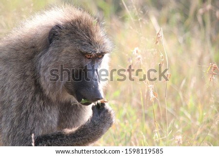 Baboon in Tanzania National Park.You can see habits and emotions.