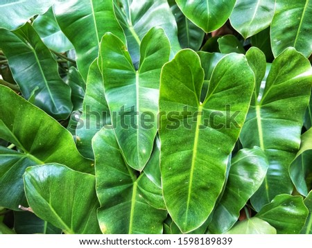 The leaves background resembles a long, tapered heart. Is a bush that looks green #1598189839