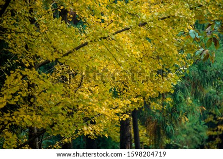 Ginkgo leaves on blur background  #1598204719