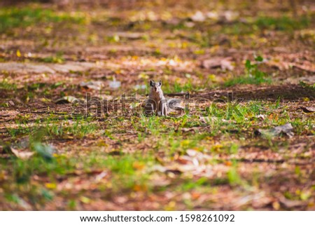 An Indian squirrel standing up on its hind legs to watch out for attacks from predators. Single small rodent animal in nature. #1598261092