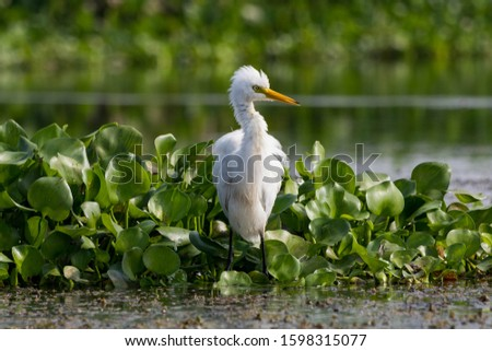 The egret waiting for a catch in the hyacinth beside a water body #1598315077