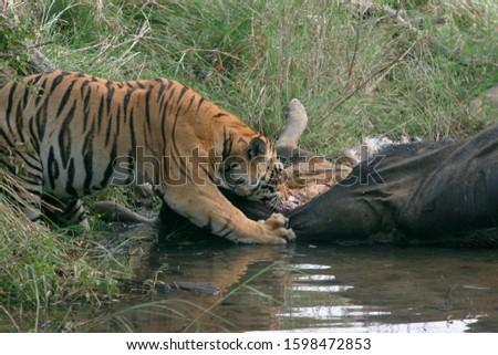 Male tiger, Panthera tigris, eating gaur, Kanha National Park, Madhya Pradesh, India  Royalty-Free Stock Photo #1598472853