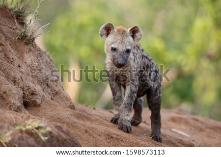 Hyena pup playing at the den in a Game Reserve in the Greater Kruger Region in South Africa
