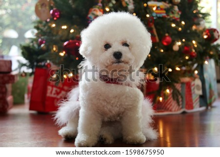 Bichon Frise Christmas. Pure breed Bichon Frise Dog poses for her Christmas photo under her Christmas Tree. Dogs Love Christmas. Happy Holidays to all.