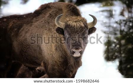 Large brown wisent in the winter forest. Wild European brown bison Bison Bonasus in winter. European wisent in natural habitat. The best photo. Bayerischer Wald. #1598682646