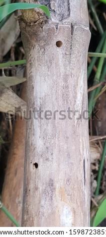 Chlorophorus annularis damaging bamboo stems #1598723851