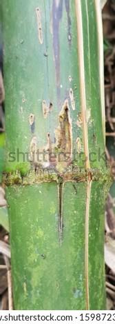 Chlorophorus annularis damaging bamboo stems #1598723854