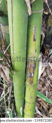 Chlorophorus annularis damaging bamboo stems #1598723857