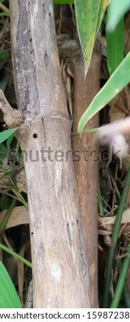 Chlorophorus annularis damaging bamboo stems #1598723872