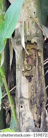 Chlorophorus annularis damaging bamboo stems #1598723875