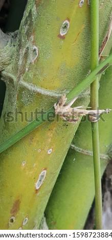 Chlorophorus annularis damaging bamboo stems #1598723884