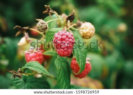 Fresh raspberries on the branch. The raspberries in the bushes. Raspberries in the garden. #1598726959