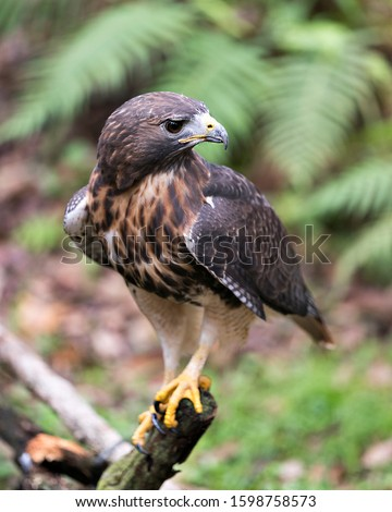 Hawk bird close-up profile view perched on a branch displaying brown feathers plumage,  head, eye, beak, tail, feet, with a bokeh background in its surrounding and environment.