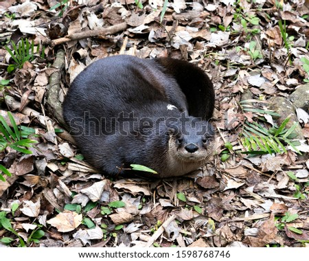 Otter animal close-up profile view resting in a bed of foliage and brown leaves displaying brown fur head, nose, ears, eyes, tail, paws in its environment and surrounding.