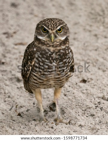 Owl  Florida Burrowing Owl close-up profile view standing on sand background, displaying brown feathers plumage, beak, eyes, feet in its environment and surrounding.