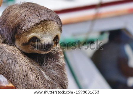Brown baby sloth captured for taking pictures with tourists